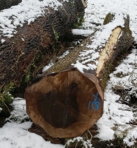 Im Bild oben sehen sie den Nussbaum aus Vorarlberg der einen Preis von 800.- pro Festmeter erreichte.